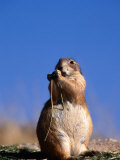 Black Tailed Prairie Dog Fotografisk tryk af Mark Newman