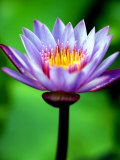 Water Lily, Tahiti, the Society Islands, French Polynesia Photographic Print by Paul Kennedy