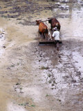 Farmer Ploughs and Puddies His Field Near Rendang, Rendang, Bali, Indonesia Photographic Print by Richard I'Anson
