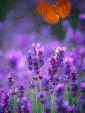 Lavender and Butterflies, Provence-Alpes-Cote d'Azur, France Photographic Print by Dan Herrick
