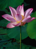 Lotus Flowers at Lotus Farm, Phnom Krom, Angkor, Siem Reap, Cambodia Photographic Print by Richard I'Anson