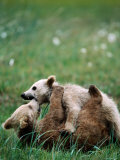 Brown Bear Spring Cubs Playing in Field, Hallo Bay, Alaska Photographic Print by Mark Newman
