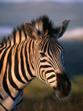 Plains Zebra, Burchell's Zebra, Hluhluwe-Umfolozi Park, Kwazulu-Natal, South Africa Fotografie-Druck von Ariadne Van Zandbergen