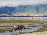 Blue Wildebeest Ngorongoro Crater, Arusha, Tanzania Photographic Print by Ariadne Van Zandbergen