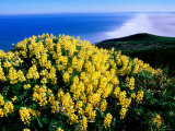 Tree Lupine at Point Reyes National Seashore, Marin County, California Photographic Print by John Elk III