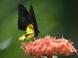 Black and Gold Birdwing at Kuala Lumpur Butterfly Park, Kuala Lumpur, Wilayah Persekutuan, Malaysia Photographic Print by Greg Elms