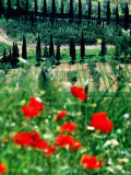 Rows of Cypress Trees with Poppies in Foreground, Castelnuovo Dell'Abate, Tuscany, Italy Photographic Print by David Tomlinson