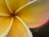 Frangipani Flower and Raindrops, Bangkok, Thailand Photographic Print by Brent Winebrenner