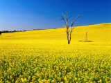 Dead Tree in Field of Flowering Canola, Cootamundra, New South Wales, Australia Photographie par Ross Barnett