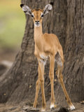 Impala, Selous Game Reserve, Pwani, Tanzania Photographic Print by Ariadne Van Zandbergen