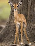 Impala, Selous Game Reserve, Pwani, Tanzania Photographic Print by Ariadne Van Zandbergen