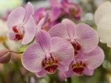 Pink Orchids at Orchid Garden, Kuala Lumpur, Wilayah Persekutuan, Malaysia Fotografisk tryk af Greg Elms