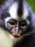 Thomas Leaf Monkey at Gunung Leuser National Park, Indonesia Photographic Print by Paul Kennedy