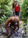 Jackie the Oragutan Leads Tourists to the Feeding Platform, Gunung Leuser National Park, Indonesia Photographic Print by Paul Kennedy