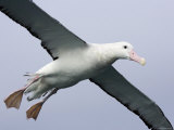 Gibson's Albatross, Kaikoura, New Zealand Photographic Print by David Wall