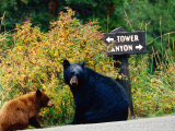 Black Bear with Cub Sitting by Road with Signpost in Background, Yellowstone National Park, Wyoming Photographic Print by Christer Fredriksson
