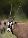 Gemsbok, Etosha National Park, Kunene, Namibia Photographic Print by Ariadne Van Zandbergen