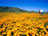 Photographer in Field of California Poppies, East County, San Diego, California Photographic Print by Richard Cummins