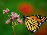 Monarch Butterfly at the Botanical Gardens in Zilker Park, Austin, Texas Photographic Print by Richard Cummins