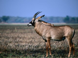 Roan Antelope in Profile, Kafue National Park, North Western Province, Zambia Photographic Print by Ariadne Van Zandbergen