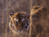 Siberian Tiger in Long Grass, North China, China Photographic Print by Keren Su