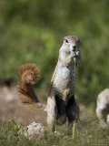 Ground Squirrel, Etosha National Park, Kunene, Namibia Photographic Print by Ariadne Van Zandbergen