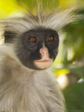 Kirk&#39;s Red Colobus Monkey, Jozani Forest, Zanzibar South, Tanzania Photographic Print by Ariadne Van Zandbergen