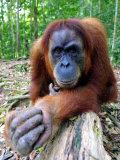 Female Oragutan, Gunung Leuser National Park, Bukit Lawang, North Sumatra, Indonesia Photographic Print by Paul Kennedy