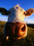 Close-Up of Cow's Nose at Glumslovs Backar, Landskrona, Skane, Sweden Fotografisk tryk af Anders Blomqvist