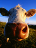 Close-Up of Cow&#39;s Nose at Glumslovs Backar, Landskrona, Skane, Sweden Photographic Print by Anders Blomqvist