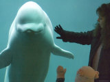 Beluga Whale, Point Defiance Zoo, Tacoma, Washington Photographic Print by Mark Newman