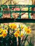 Daffodils with Bridge over Pond in Background, Garden of Claude Monet, Giverny, France Photographic Print by David Tomlinson