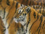 Siberian Tigers, North China, China Photographic Print by Keren Su