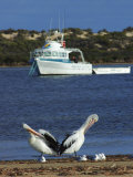 Pelicans and Seagulls with Boat, Eyre Peninsula, Baird Bay, South Australia Photographic Print by Michael Gebicki