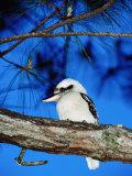 Kookaburra, Queensland, Australia Photographie par Holger Leue