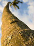 Trunk of Coconut Tree, Maui, Hawaii Photographic Print by Holger Leue