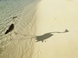 Heron Walking along Beach, Mafushivaru, Ari Atoll, Alifu, Maldives Photographic Print by Felix Hug