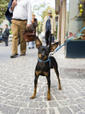 Tethered Dog Outside Shop, Naples, Campania, Italy Photographic Print by Greg Elms