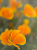 Golden Poppies on Figueroa Mountain, Los Padres National Forest, California Photographic Print by Brent Winebrenner