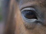 Detail of Horses Face near Lough Ennell, Ireland Photographic Print by Holger Leue