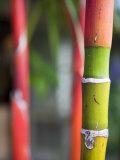 Bamboo, Maui, Hawaii Fotografisk tryk af Holger Leue