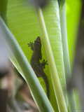 Gecko on Leaf, Cousin Island Special Reserve Near Praslin Island, Cousin Island Photographic Print by Holger Leue