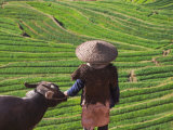 Farmer with Water Buffalo Looking over Terraced Winter Wheat Fields, Yunnan, China Photographic Print by Keren Su