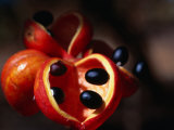 Rainforest Fruit, Cape York Peninsula, Queensland, Australia Photographic Print by Oliver Strewe