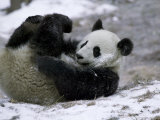 Giant Panda Cub Playing in Snow, Wolong Ziran Baohuqu, Sichuan, China Photographic Print by Keren Su