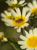 Bee Sitting on Wildflower, Naxos, Southern Aegean, Greece Photographic Print by Diana Mayfield