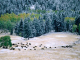 Bison Herd in First Snow, Lamar Valley, Yellowstone National Park, Wyoming Photographic Print by Christer Fredriksson