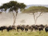 Topi, Serengeti National Park, Shinyanga, Tanzania Fotodruck von Ariadne Van Zandbergen