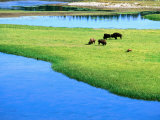American Bison Grazing in Meadow Near Yellowstone River, Wyoming Photographic Print by David Tomlinson
