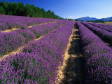 Rows of Lavender in Bloom, Vaucluse Region, Sault, Provence-Alpes-Cote d'Azur, France Photographic Print by David Tomlinson